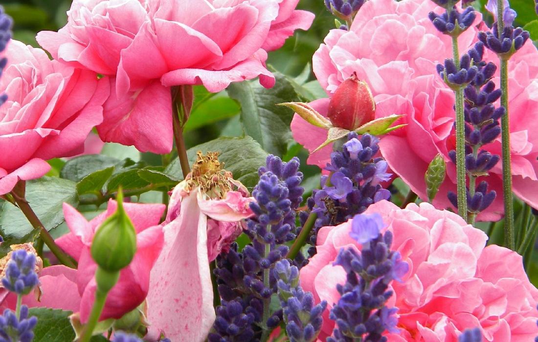 Klettergerüst Rosen : Rosen